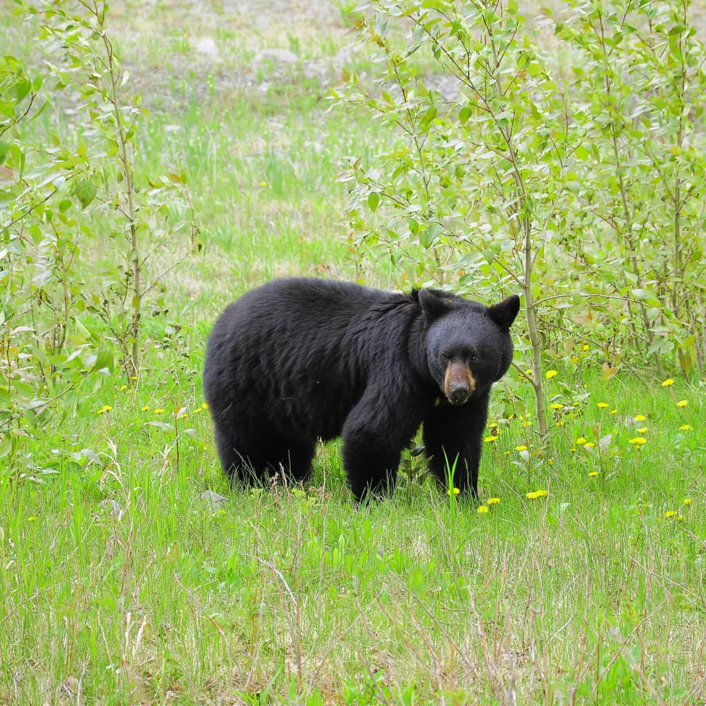Black Bear in a green field