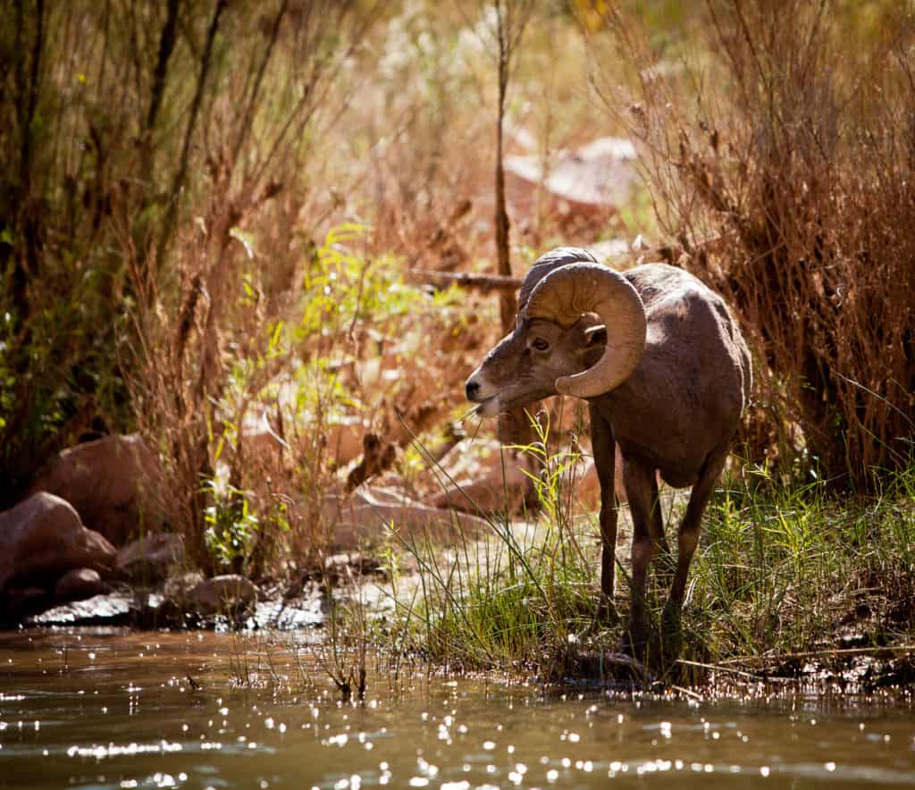 Big Horn Sheep in forest