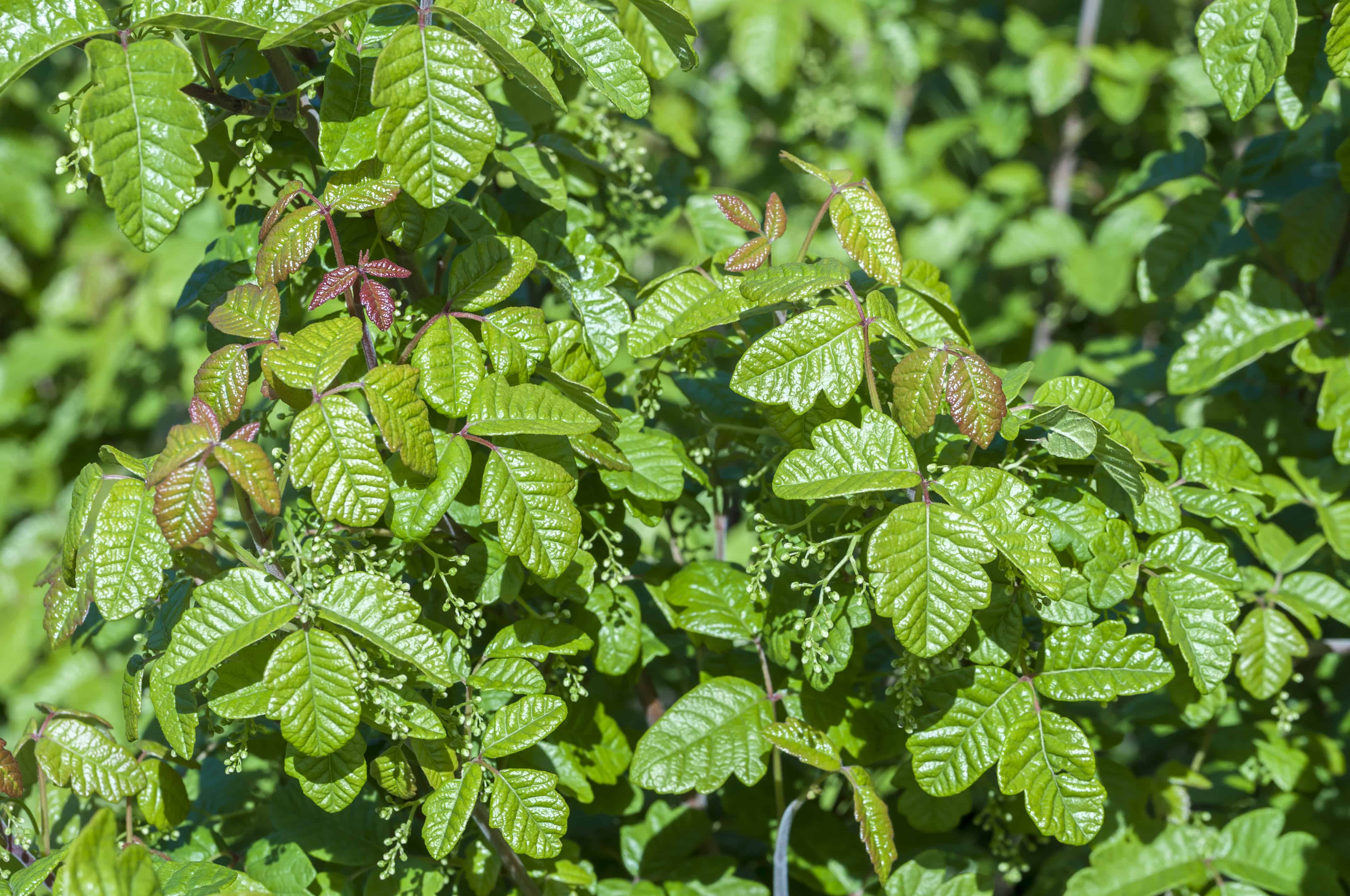 Beautiful green poison oak Toxicodendron diversilobum bush in natural environment