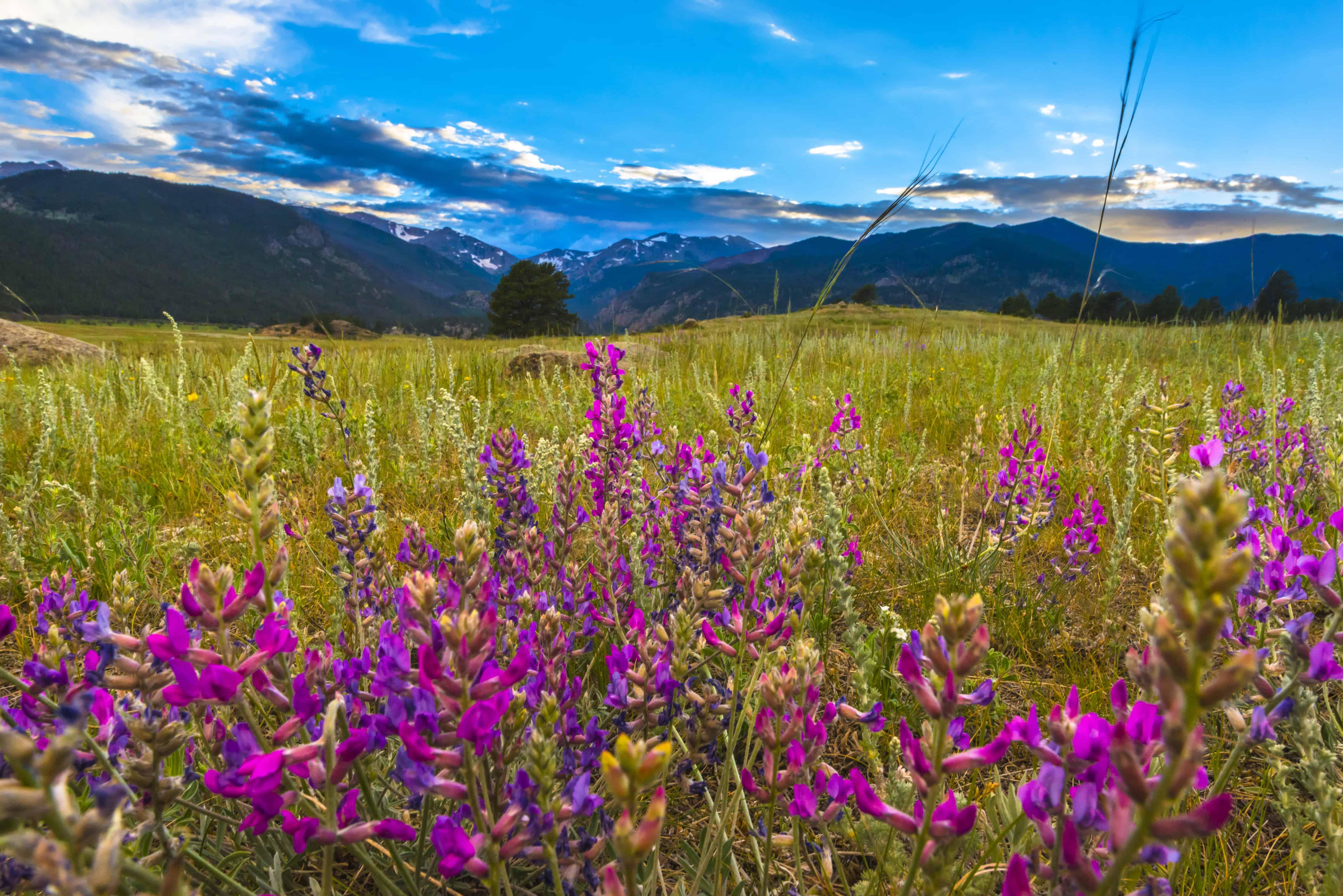Indian Paintbrush flowers at sunset on Estes Park hiking trails near Moraine Park- Rocky Mountain Colorado