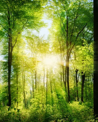 Nature Bathing Forest Bathing Panorama of a scenic forest of fresh green deciduous trees with the sun casting its rays of light through the foliage